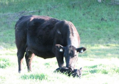 C12 TURIHAUA PLEDGE ET COW /full sib of Pldge W/ 65 LB GAMBLE CALF